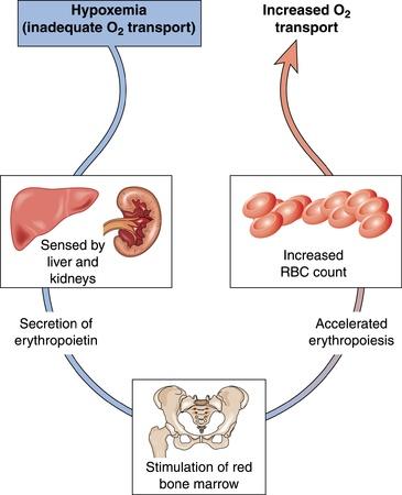 involving: Schema di mostrare ipossiemia e controllo dei livelli di ossigeno nel sangue, che coinvolge il fegato ei reni, midollo osseo e globuli rossi