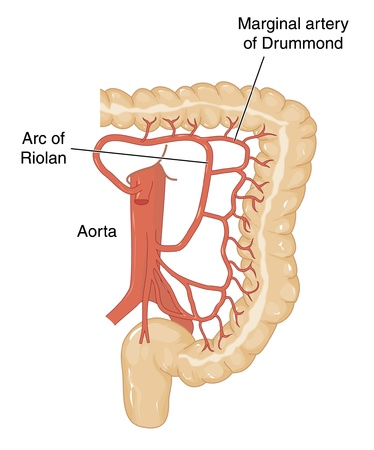 vaisseaux sanguins: Les vaisseaux sanguins de l'aorte abdominale qui irriguent le transverse, c�lon descendant et sigmo�de et du rectum Illustration