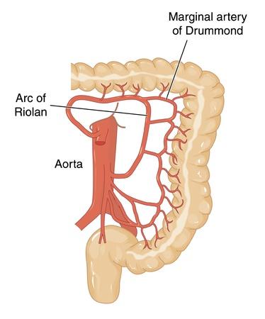 intestino grueso: Los vasos sanguíneos de la aorta abdominal que suministran sangre al colon transverso, descendente y sigmoide y el recto Vectores