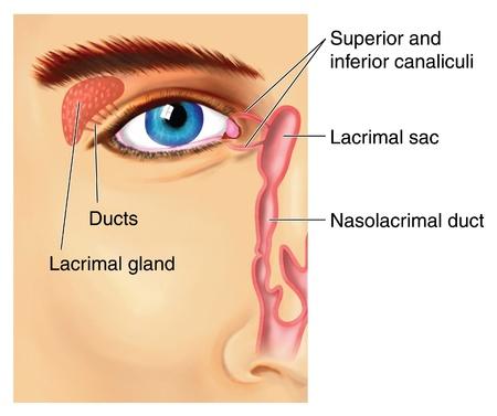 Daarbij zo lacrimale apparaat laten met traanklier produceren vloeistof die de voorkant van het oog en verlaat deze door de canaliculi passeert en in het nasolacrimale kanaal Stockfoto