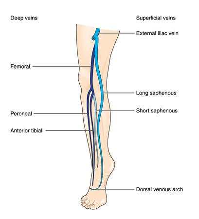 Deep and superficial leg veins Illustration