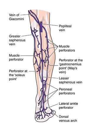 Posterior leg veins Illustration
