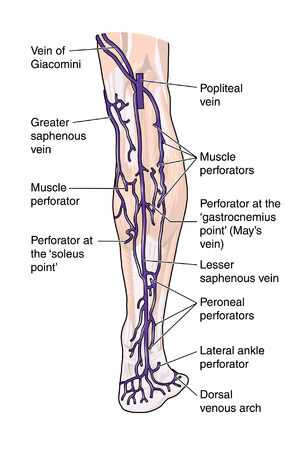 Posterior leg veins Illustration