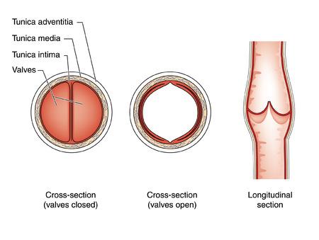 vein valve: Sections through a vein valve