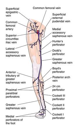 Anterior veins of the leg