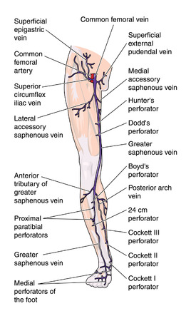 Anterior veins of the leg