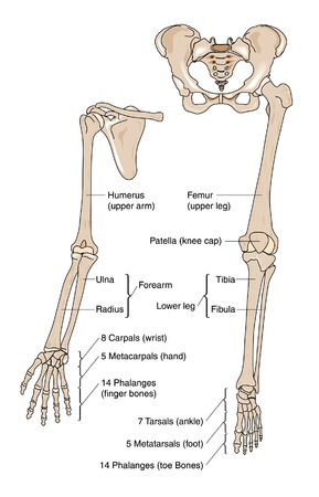 Bones of the arm, hand, leg and foot