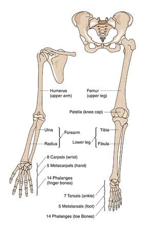 scheletro umano: Le ossa del braccio, mano, gamba e piede Vettoriali