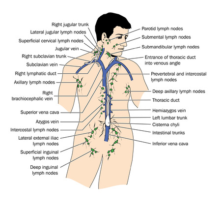 Drawing of lymphatic drainage and lymph nodes