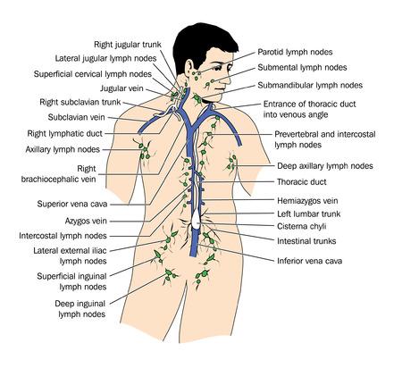 klatki piersiowej: Rysunek drenaż limfatyczny i węzłów chłonnych Ilustracja