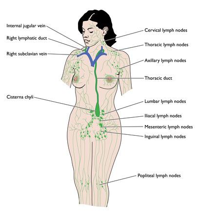 lombaire: Dessin de syst�me lymphatique f�minin Illustration