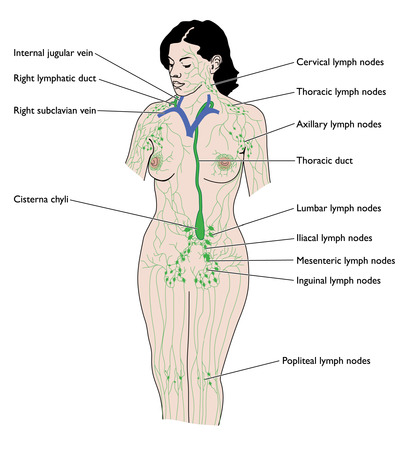 Drawing of female lymphatic system Illustration