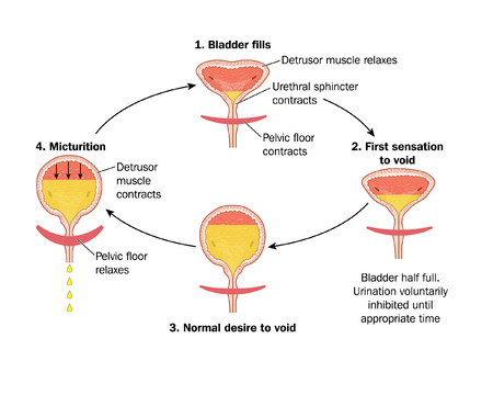 Sequence of events in voiding the bladder