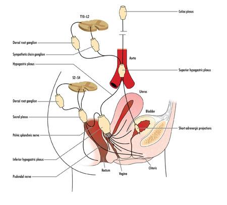 hüvely: Rajz idegi ellátását méh, hüvely és a végbél Illusztráció