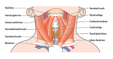 carotid: Drawing to show the anterior muscles of the neck and airway structures, including the trachea, thyroid and cartilages