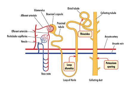 distal: Sitio de acci�n de los diur�ticos de asa, tiazidas y f�rmacos ahorradores de potasio, que muestra detalles de la nefrona del ri��n Vectores
