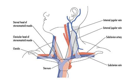다른 구조와 관련하여 목의 주요 혈관을 보여주는 도면
