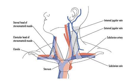 Drawing showing major blood vessels in the neck in relation to other structures