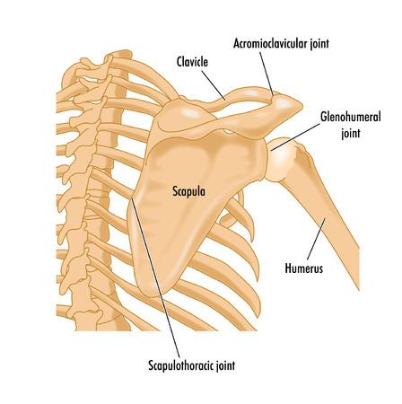 回転子袖口の境界領域を示す右の肩の骨  イラスト・ベクター素材