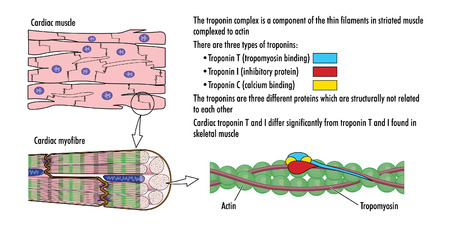 contraction: Drawing of heart muscle showing cardiac myofibres, actin, tropomyosin and troponin complex Illustration