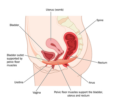 uretra: Dibujo para mostrar los músculos del suelo pélvico y su apoyo al útero, la vejiga y el recto