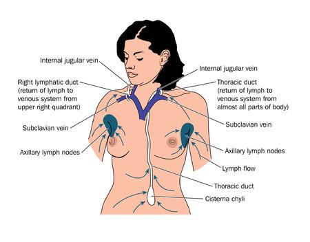 klatki piersiowej: Rysunek pokazać drenaż limfatyczny do przewodu piersiowego prawego i kanału limfatycznego, z lokalizacją węzłów chłonnych pachowych
