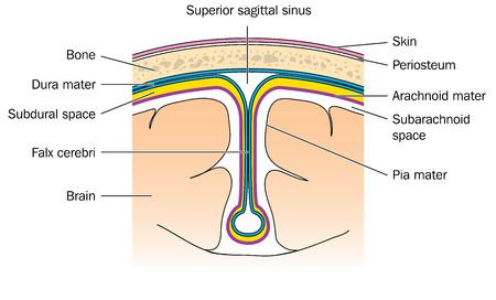 arachnoid: Sezione trasversale attraverso il cervello che mostra le meningi dura madre, aracnoide, Pia e la falce cerebrale