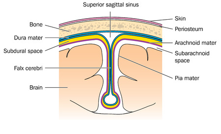 Cross section through the brain showing the meninges  dura, arachnoid, pia  and the falx cerebri