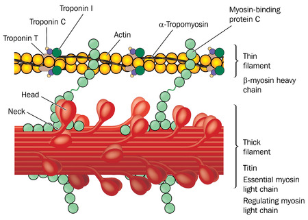 Detail of muscle tissue showing actin and myosin, troponin complex, thin filaments and thick filaments.