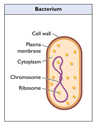 cytoplasm: Structure of a generic bacterium, showing the cell wall, plasmam membrane, cytoplasm and genetic material.  Created in Adobe Illustrator.  Contains gradients.  EPS 10.