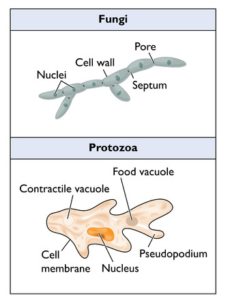 Structure of fungi and protozoa, showing detail of the cell contents and micro structure, including the septum and pseudopodia.