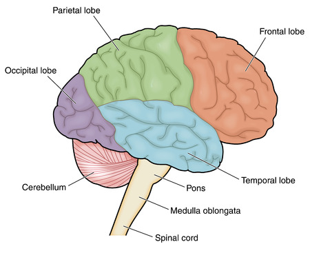 Drawing of the external brain showing the named lobes.