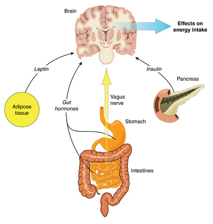 Control of food intake via hormones from the gut,adipose tissue and pancreas, and vagus nerve stimulation. Created in Adobe Illustrator.  Contains transparencies.  EPS 10. Illusztráció