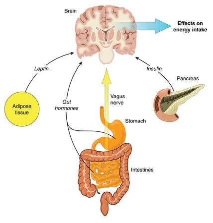 Controle van voedselinname via hormonen uit de darm, pancreas en vetweefsel en nervus vagus stimulatie. Gemaakt in Adobe Illustrator. Bevat transparanten. EPS-10.