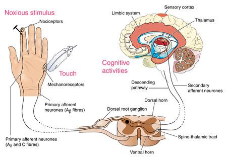 Receptores nocivas y dolor en la piel y las vías nerviosas en el cerebro, a través de la médula espinal y el tálamo. Creado en Adobe Illustrator. Contiene transparencias. 10 EPS.