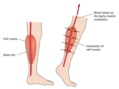Drawing to show blood forced up from legs due to calf muscle pump. Created in Adobe Illustrator.  EPS 10. Illustration