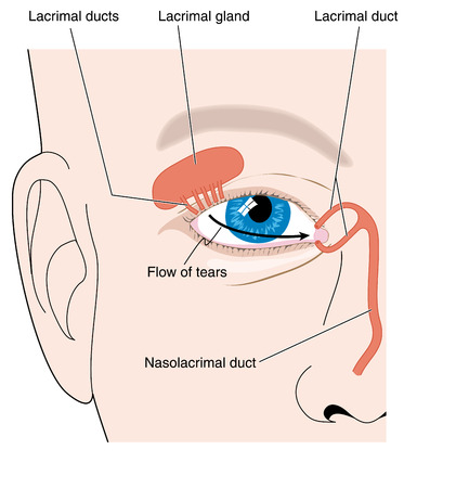 Production of tears from the lacrimal gland and flow of tears across the eye. Created in Adobe Illustrator. EPS 10. Illustration