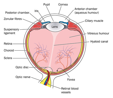 optic nerve: Cross section of the eye, showing all the major anatomical structures and relationships, including the lens, iris, pupil, cornea and retina. Created in Adobe Illustrator.  Contains transparencies.  EPS 10. Illustration