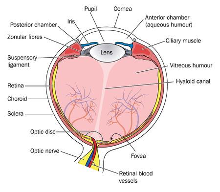cornea: Sezione trasversale dell'occhio, che mostra tutte le principali strutture e relazioni anatomiche, tra cui la lente, iride, pupilla, cornea e retina. Creato in Adobe Illustrator. Contiene lucidi. EPS 10. Vettoriali