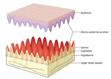 La piel que muestra la unión dermo-epidérmica, los capilares y los vasos sanguíneos más profundos. Creado en Adobe Illustrator. Contiene transparencias. Foto de archivo - 39086938