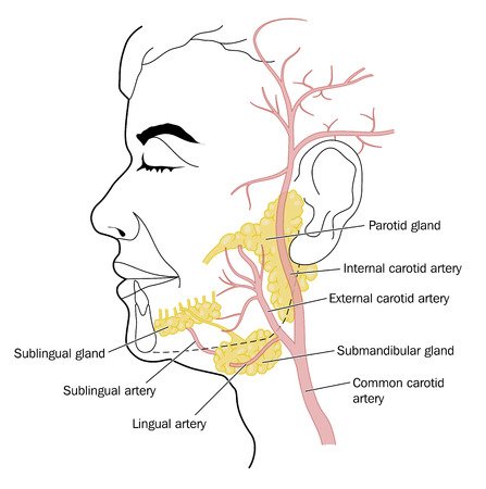 The salivary glands and the blood vessels of the neck and face. Created in Adobe Illustrator.  Contains transparencies.  EPS 10.  イラスト・ベクター素材