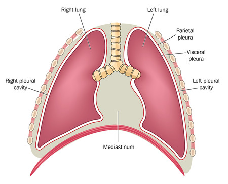 The mediastinum and pericardium in relation to the lungs and diaphragm. Created in Adobe Illustrator.  Contains gradient meshes. EPS 10.