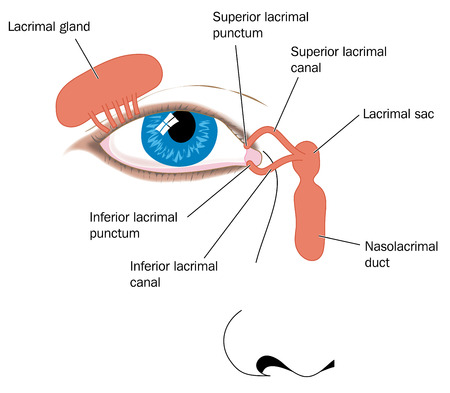 Lacrimal apparatus tear duct and nasolacrimal duct. Created in Adobe Illustrator.  Contains transparencies.  EPS 10.