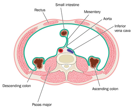 Cross section through peritoneal cavity showing muscles of the abdomen and position of bowel aorta and inferior vena cava. Created in Adobe Illustrator.  EPS 10. Vettoriali