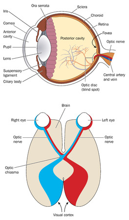 Cross section through eye and brain showing optic nerve optic chiasma and visual cortex Contains transparencies and gradients