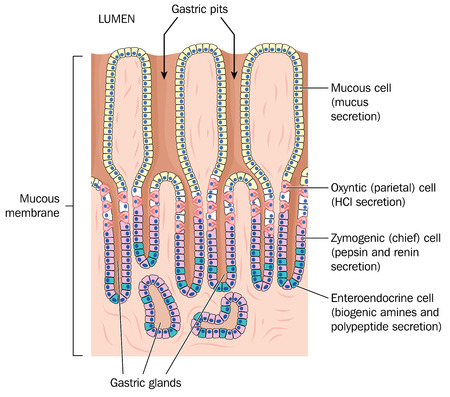 glands: Gastric pits and glands plus secretory cells of the stomach lining.   Illustration
