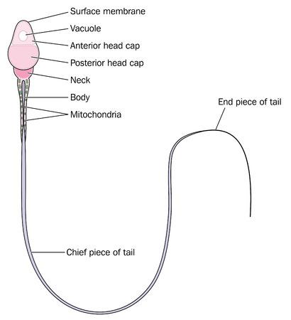 Anatomía de un espermatozoide que muestra los detalles del cuerpo principal del cuello y la cola.