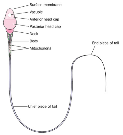 sperm cell: Anatomy of a spermatozoon showing detail of the head neck body and tail.
