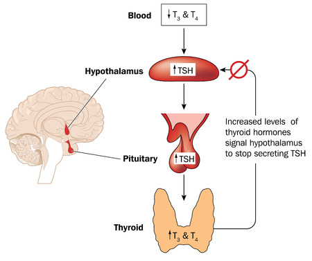 Feedback loop controlling thyroid hormone secretion involving the blood hypothalamus and pituitary gland.
