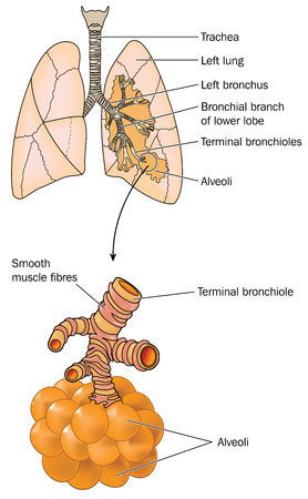 bronchioles: Drawing of the lungs showing trachea bronchi bronchioles and alveoli.